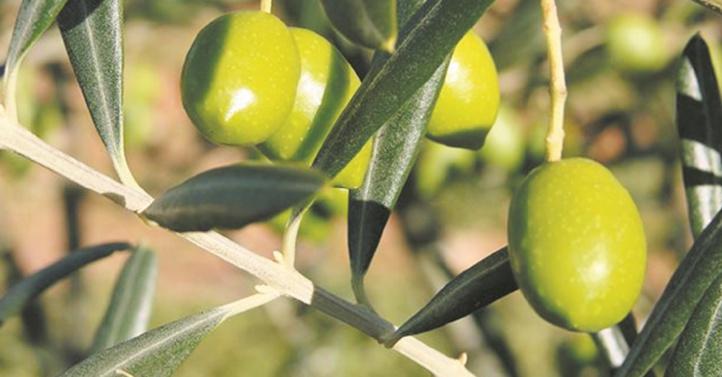 """L'ombre de la """"Xylella fastidiosa"""" plane sur les oliviers"""