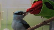 Une marionnette pour nourrir des oiseaux menacés de Java