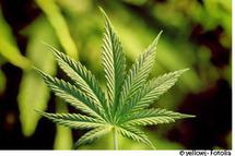 La légalisation de la marijuana en Californie augmenterait la consommation