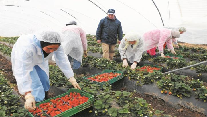 Ouvrières marocaines et fraises espagnoles :  Présomption de harcèlement et de viols au centre d'enquêtes et de contre-enquêtes
