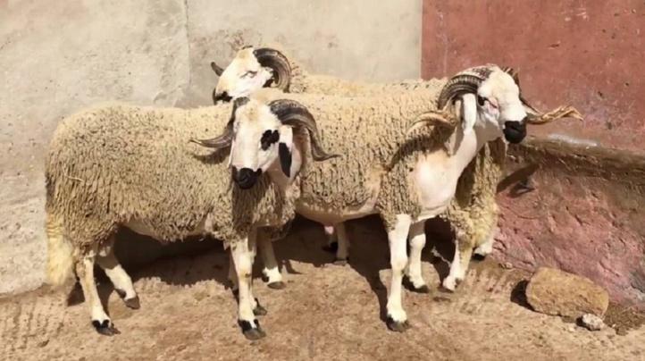 Penser au mouton de l'Aïd en plein Ramadan