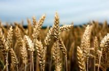 La production céréalière devrait dépasser 100 millions de quintaux