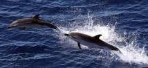 La viande de dauphin pilote indésirable dans les assiettes