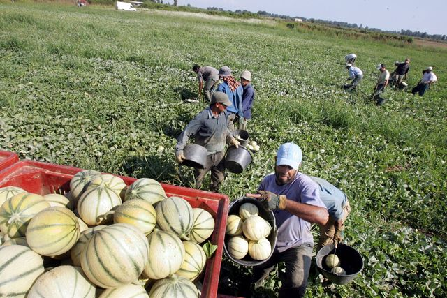 Des ouvriers agricoles marocains exploités en France