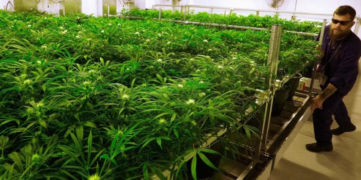Le gouvernement néerlandais lance une expérience de culture légale de cannabis