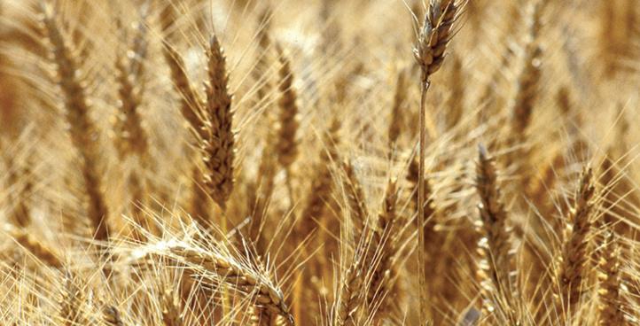 Production record attendue pour la plupart des filières agricoles à Rabat-Salé-Kénitra