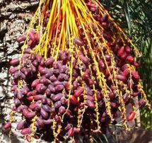 SIDATTES 2010  :  Les dattes marocaines se dotent d'un Salon international