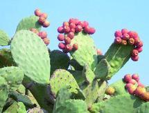 L'Agence pour le développement des provinces du Sud annonce des résultats prometteurs : Le cactus mis en valeur à Guelmim
