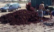 Sociétés de transformation des algues à El Jadida : Haro sur le monopole des richesses