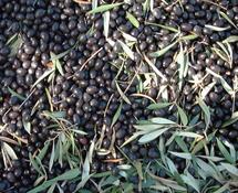 Projet d'agrégation oléicole à Khénifra  : Pour une valorisation de la production de l'olivier