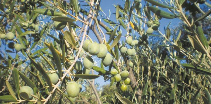 Production record d'olives
