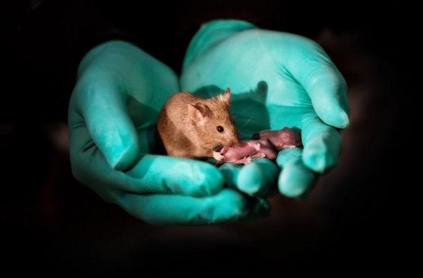 Des souriceaux nés de souris de même sexe
