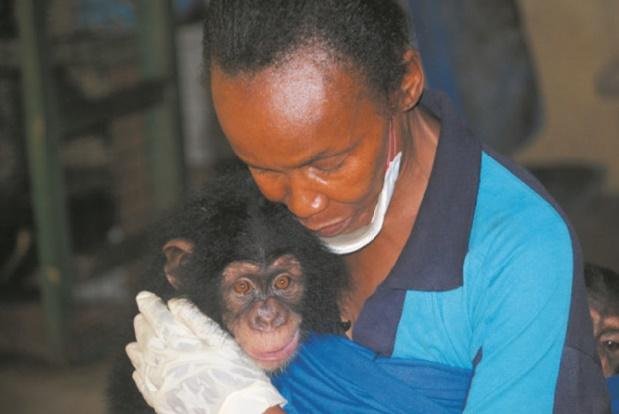 Les chimpanzés paient le prix fort en Sierra Leone
