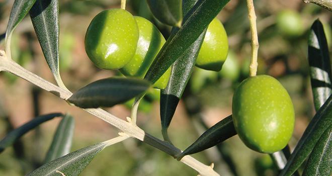 Augmentation de la production oléicole