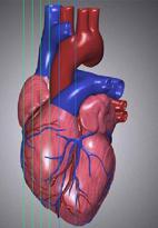Des cœurs humains développés en laboratoire