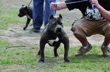 A quand une loi interdisant les chiens dangereux ?  : La chasse aux molosses est lancée