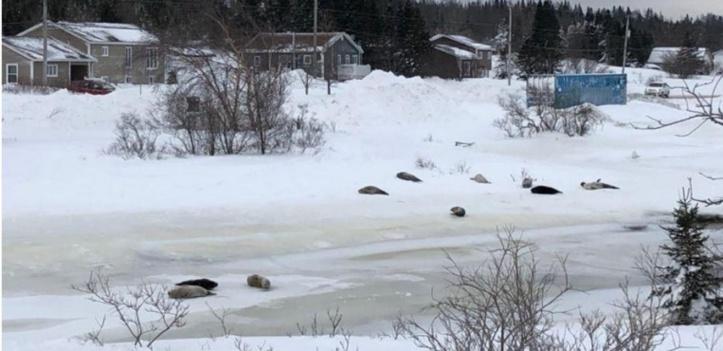 Insolite : Invasion de phoques