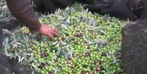 La production oléicole a atteint plus d'un million de tonnes dans la région de Fès-Meknès