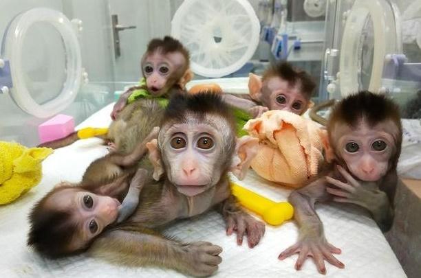 Une équipe chinoise assure avoir cloné 5 singes pour la recherche médicale