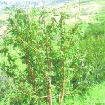 Les canons anti-grêle n'ont pas tonné à temps : Les cerisiers du Moyen Atlas ravagés par la tempête