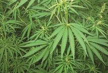 En usant de données obsolètes, l'Office classe le Royaume en tête des producteurs de cannabis : L'ONUDIC charge le Maroc