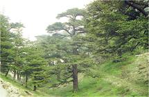 Lutte contre la contrebande du bois de cèdre