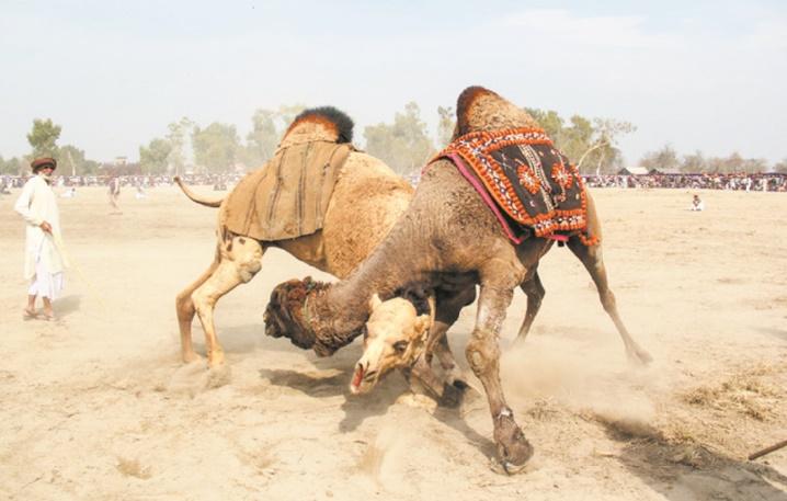Au Pakistan, des combats de chameaux illégaux mais populaires