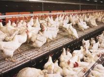 Une nouvelle souche de  salmonelle prélevée sur la volaille marocaine :  Menace sur le secteur avicole