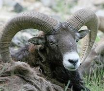 """""""Maman, ne me dessine pas un mouton, mais un mouflon...!"""""""