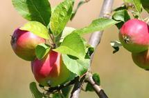 Immouzer Kandar : Festival des pommes