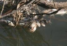 Pollution de l'oued Moulouya : La mortalité des poissons causée par l'anoxie du milieu aquatique