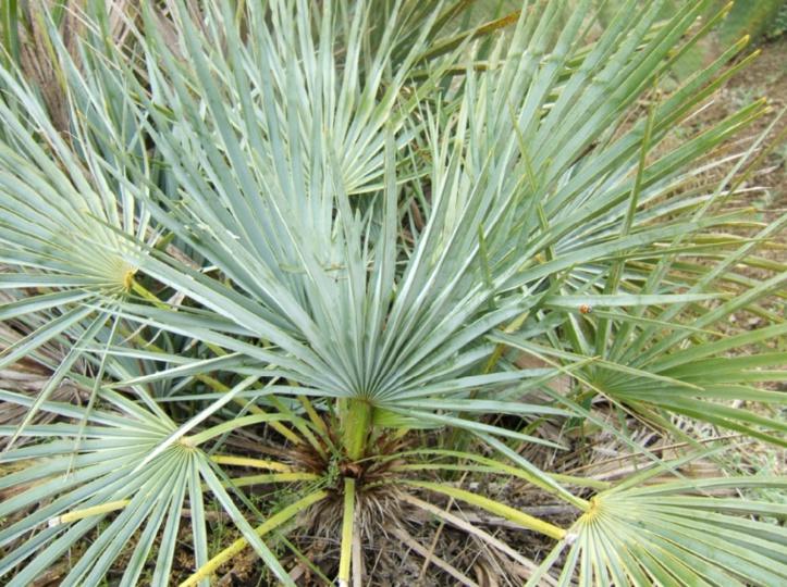 Le palmier nain, un arbre aux multiples bienfaits en danger