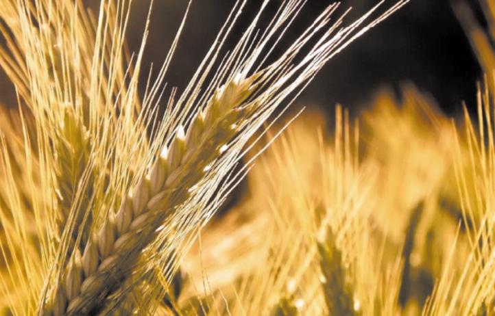 La saison agricole sera moyenne au niveau de la production des céréales