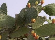 Deuxième université internationale itinérante du cactus : Le figuier de barbarie au menu des débats