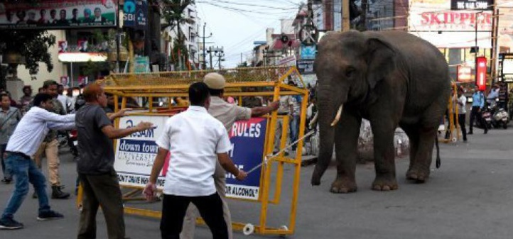Insolite : La balade d'un éléphant