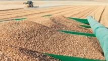 Le prix de référence cible du blé rendu moulin fixé à 280 DH/ql