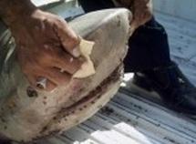Requins, quand le prédateur devient proie
