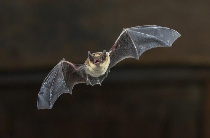 Les chauves-souris, première cause de cas mortels de rage humaine aux Etats-Unis