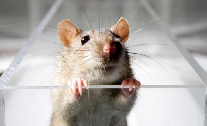 Des chercheurs éliminent le virus du sida chez des souris infectées