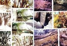 Crime écologique à Essaouira : Un arbre séculaire massacré