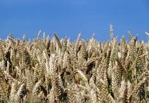 Le blé dur, de plus en plus rare au Maroc : Les agriculteurs tirent la sonnette d'alarme
