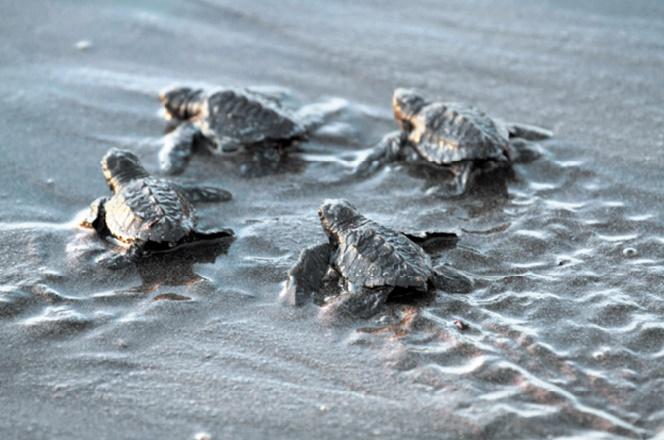 Les embryons de tortue jouent un rôle dans la détermination de leur sexe