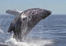 Acheter des baleines pour les sauver