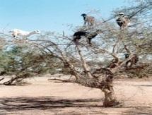 Lors d'une rencontre d'étude organisée à Tiznit sur la situation de l'arganeraie : Le RARBA tire la sonnette d'alarme