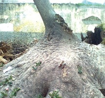 Massacre d'un arbre centenaire : La société civile indignée