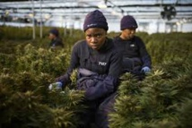 Le royaume du Lesotho, pionnier africain du cannabis médicinal