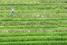 La génétique dope la sélection pour aider les riziculteurs japonais