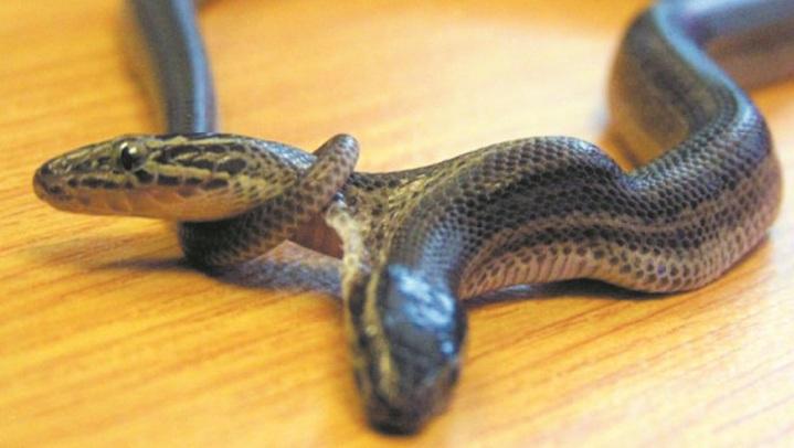Insolite : Un serpent à deux têtes découvert à Bali