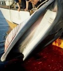 La baleine au menu, une pratique dépassée ?
