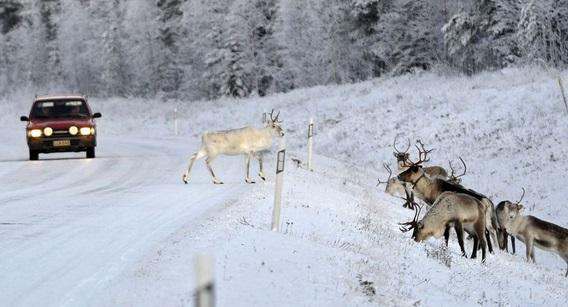 Insolite : Un renne envoie une dizaine de soldats à l'hôpital après une collision de blindés